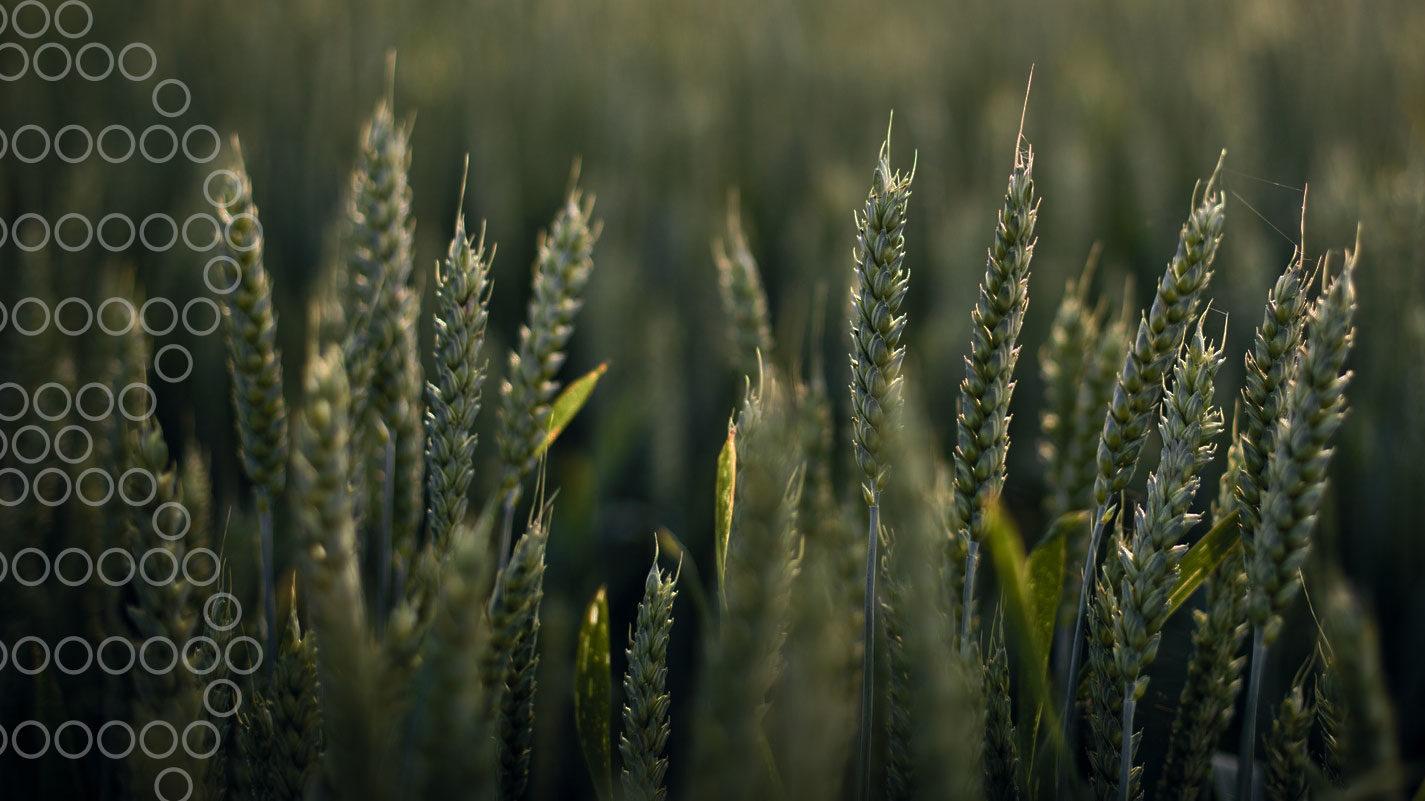 Header Image - Wykrywanie chorób roślin